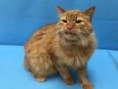 Adopt Jack a Orange or Red Domestic Longhair / Mixed cat in Coon Rapids