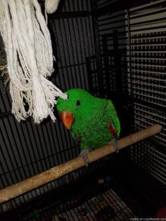 Solomon Island Eclectus parrots for pet loving homes