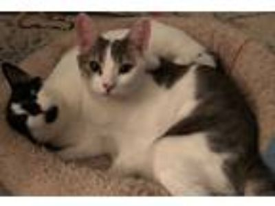 Adopt Lillie a Gray, Blue or Silver Tabby Domestic Shorthair (short coat) cat in