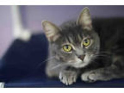 Adopt CHLOE a Gray or Blue (Mostly) Domestic Shorthair / Mixed (short coat) cat