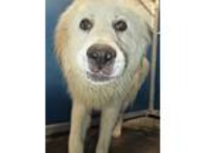 Adopt Cage 33 May 16 a Great Pyrenees