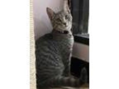 Adopt Clark a Gray or Blue Domestic Shorthair / Domestic Shorthair / Mixed cat