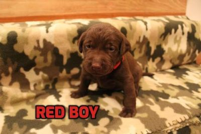 Labrador Retriever PUPPY FOR SALE ADN-62847 - Chocolate Labrador Retriever Puppies