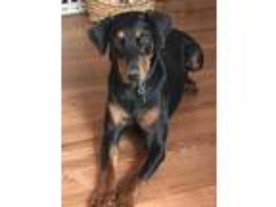 Adopt Duke the Dobie Lonestar* a Black - with Tan, Yellow or Fawn Doberman
