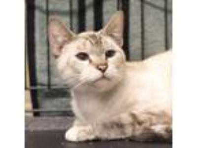 Adopt Maddy Lou a Cream or Ivory Siamese / Domestic Shorthair / Mixed cat in