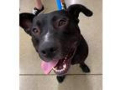 Adopt Brezel a Black Labrador Retriever / Mixed dog in Germantown, OH (23483789)