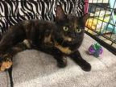 Adopt Alice a Tortoiseshell Domestic Shorthair (short coat) cat in College