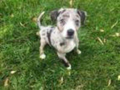 Adopt Wooly Bully a Pit Bull Terrier, Mixed Breed