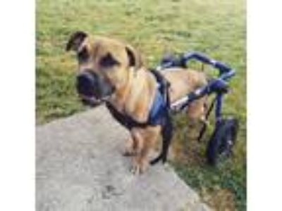 Adopt FERGIE a Tan/Yellow/Fawn Mastiff / Mixed dog in Chico, CA (24536366)