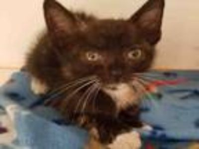 Adopt TELLY a Domestic Short Hair