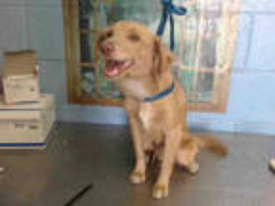 Adopt a Tan/Yellow/Fawn - with White Cavalier King Charles Spaniel / Mixed dog