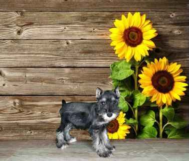 This Miniature Schnauzer is adorable!