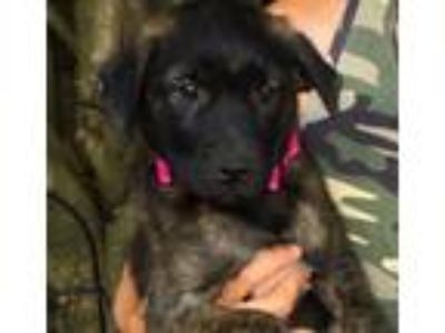 Adopt Carly - beautiful puppy, gorgeous face a Labrador Retriever, Husky