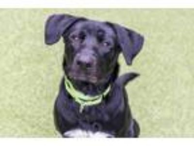Adopt Puck a Black Labrador Retriever / Mixed dog in Bellevue, WA (25583587)