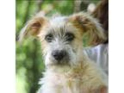 Adopt Toto a Tan/Yellow/Fawn - with White Standard Schnauzer / Wirehaired Fox