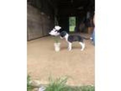 Adopt Bhindi a White - with Black American Pit Bull Terrier / Border Collie /