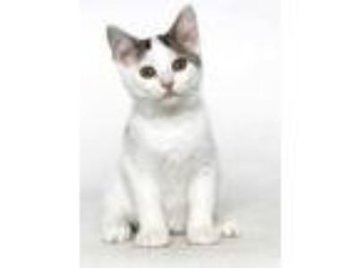 Adopt Firecracker a White Domestic Shorthair / Domestic Shorthair / Mixed cat in
