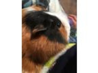 Adopt Missandei a Guinea Pig, Short-Haired