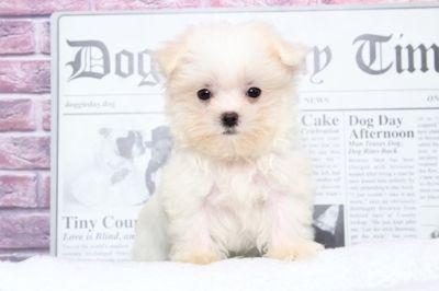 Maltese PUPPY FOR SALE ADN-91600 - Baby Elegant Teacup Female Maltese Puppy