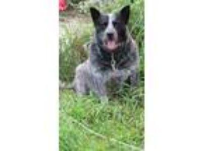 Adopt Blue a Merle Australian Cattle Dog / Mixed dog in Farmersville