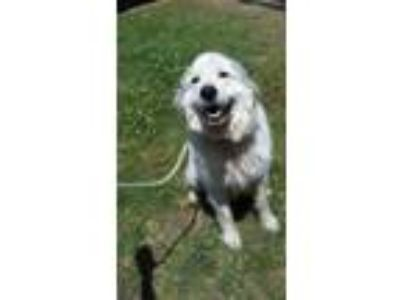 Adopt Adrian a Great Pyrenees
