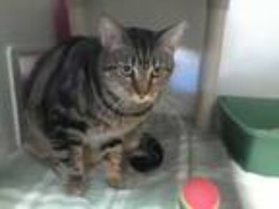 Adopt China a Spotted Tabby/Leopard Spotted Domestic Shorthair / Mixed cat in