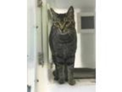 Adopt Turtle 672-19 a Brown or Chocolate Domestic Shorthair / Domestic Shorthair