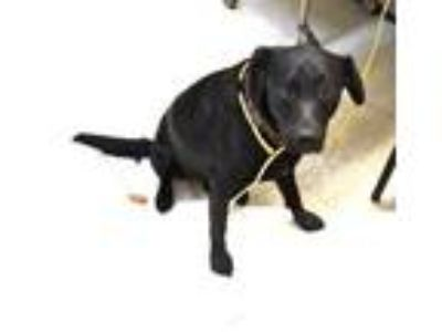 Adopt Cooper a Black Labrador Retriever / Mixed dog in Rockville, MD (22955943)