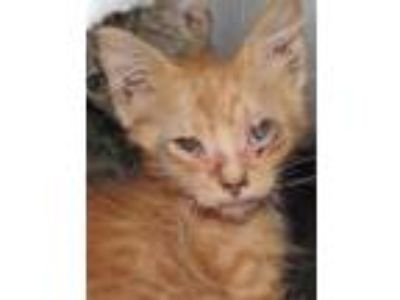 Adopt Ringo a Orange or Red Domestic Shorthair / Domestic Shorthair / Mixed cat