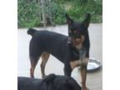 Adopt Ringo a German Shepherd Dog