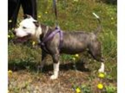 Adopt Soldier a Pit Bull Terrier, Mixed Breed