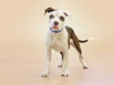 Adopt OLIVER a White - with Brown or Chocolate American Pit Bull Terrier / Mixed