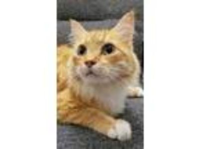 Adopt Polo a Orange or Red Domestic Longhair / Domestic Shorthair / Mixed cat in