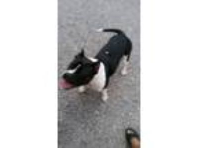 Adopt Bella a White - with Black American Staffordshire Terrier / Mixed dog in