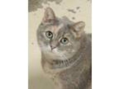 Adopt Bella a Gray or Blue Domestic Shorthair / Domestic Shorthair / Mixed cat
