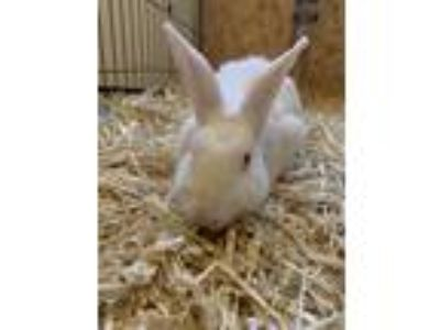 Adopt Asheville a White New Zealand / Mixed (short coat) rabbit in Los Angeles