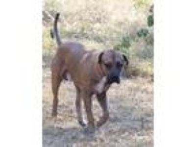 Adopt Sampson a Tan/Yellow/Fawn Mastiff / Labrador Retriever / Mixed dog in