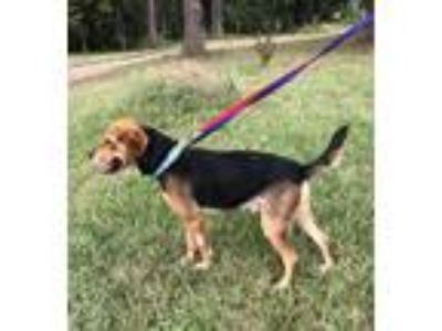 Adopt Ozzey a Tricolor (Tan/Brown & Black & White) Beagle / Mixed dog in Winder