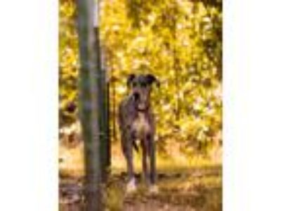 Adopt CHanning a Great Dane