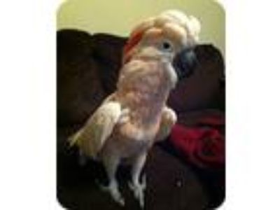 Adopt Zooie a Cockatoo