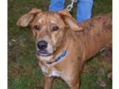Adopt Paddy a Brindle Hound (Unknown Type) / Mixed dog in Utica, NY (22738350)