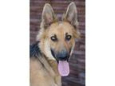Adopt Chloe von Clenze a Black - with Tan, Yellow or Fawn German Shepherd Dog /