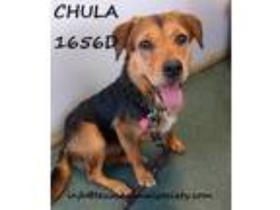Adopt Chula a Rottweiler / Terrier (Unknown Type, Small) / Mixed dog in Spring