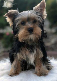 Yorkshire Terrier PUPPY FOR SALE ADN-92046 - Yorkie Puppies AKC
