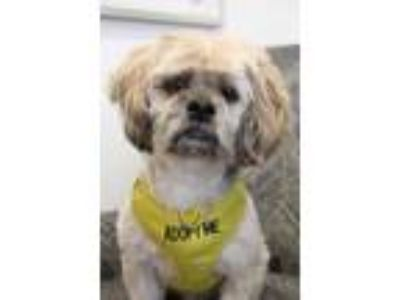 Adopt Alan a Poodle (Standard) / Brussels Griffon / Mixed dog in Thousand Oaks