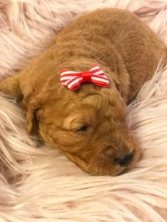 Goldendoodle PUPPY FOR SALE ADN-96031 - Yvonne F1 goldendoodle