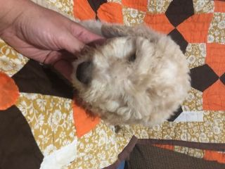 Poodle (Standard) PUPPY FOR SALE ADN-87066 - 10 Beautiful Babies