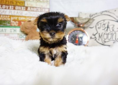 Yorkshire Terrier puppy- Female- Zoe ($ 2,500)