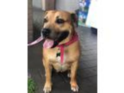 Adopt Gretel a Brown/Chocolate - with Tan Boxer / Mixed dog in Pompano