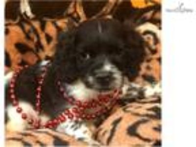 Olaf Cute Cockapoo Puppy for sale Bayside Flushing